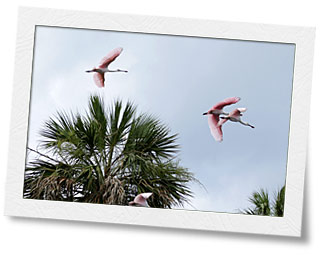 Roseate Spoonbills flying at the Fenholloway River